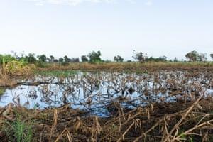 Un campo de maíz devastado por el ciclón Idai.